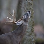 Deer Copyright 4
