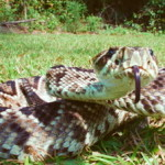 Eastern Diamondback Rattlesnake Venomous Snakes in Florida