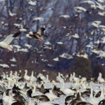 Five Strategies for Hunting Spring Snow Goose 02