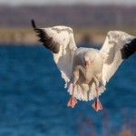 Five Strategies for Hunting Spring Snow Goose 03