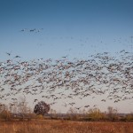 Five Strategies for Hunting Spring Snow Goose 04