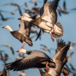 Five Strategies for Hunting Spring Snow Goose 05