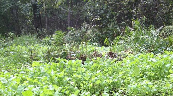 5 Deer Hunting Food Plot Myths De-Bunked