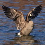 5 Strategies for Early Goose Season Success 01