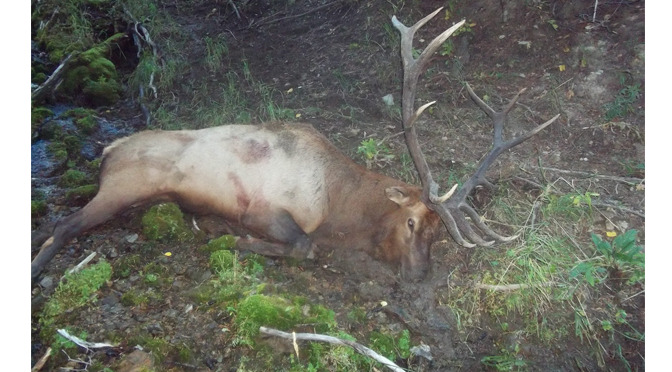 How to Bone Out an Elk