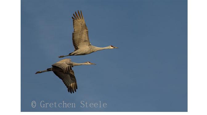 Kentucky Sandhill Cranes – Winter Wildlife Watching at Its Finest