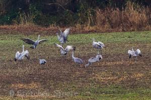 Kentucky Sandhill Cranes