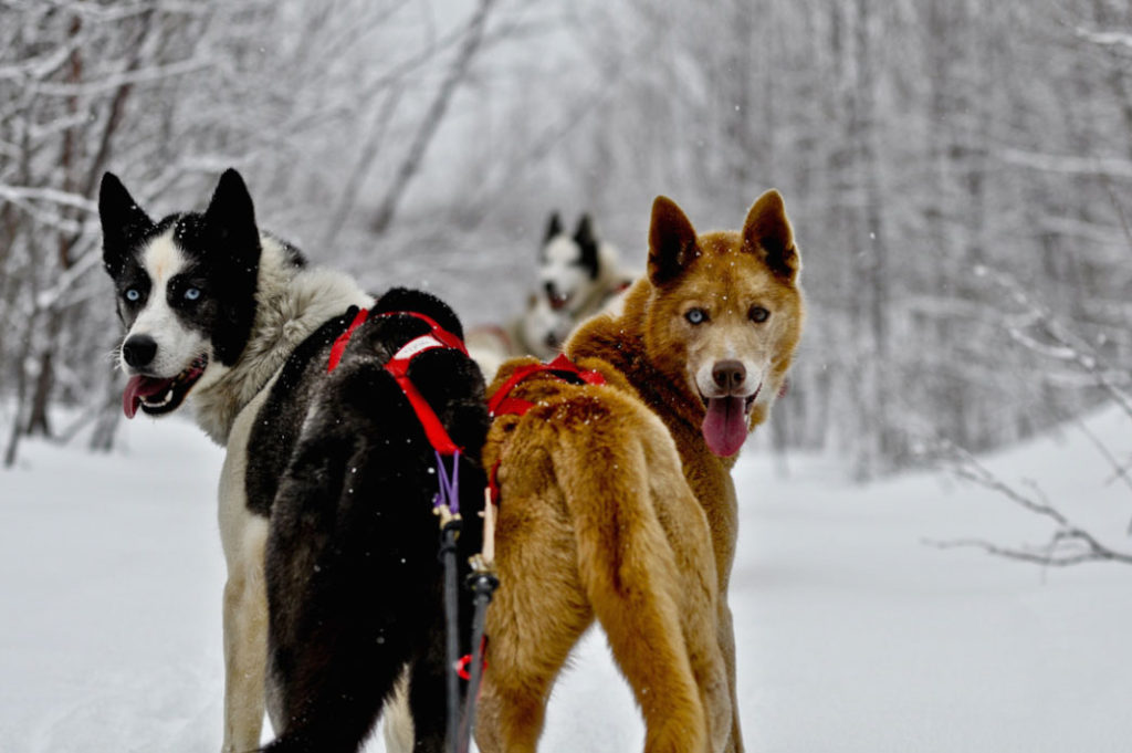 #HuntFishTravel 180 - Drive Your Own Dog Sled with Wolfsong Adventures in Mushing in Bayfield, Wisconsin